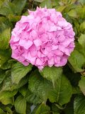 Hydrangeas are a common garden choice all over the UK Royalty Free Stock Image