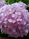 Hydrangeas cor-de-rosa fotografia de stock
