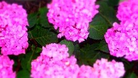 Hydrangeas cor-de-rosa Imagens de Stock