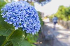Hydrangeas. Royalty Free Stock Images