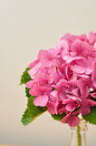 Hydrangeas Stock Photography