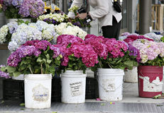Hydrangeas at farmers market. Bucket of beautiful, fresh hydrangeas at the farmers market royalty free stock images