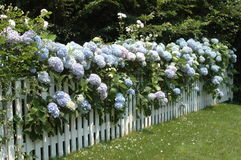 Hydrangeas on a fence royalty free stock photos