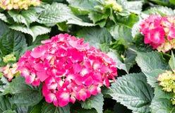 Hydrangeas flower Stock Photography