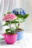 Hydrangeas in flowerpots Stock Photos