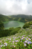 Hydrangeas flowers on the volcano. In Azores, Fayal, portugal Royalty Free Stock Photography