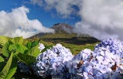 Hydrangea blossoms in front of volcano Pico, Azores Islands