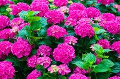 Hydrangeas. Garden with beautiful fuchsia hydrangeas Stock Photography