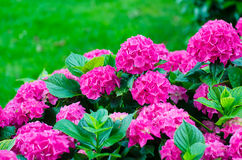 Hydrangeas Royalty Free Stock Photography
