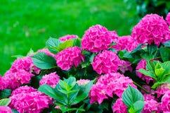 Hydrangeas. Garden with beautiful fuchsia hydrangeas Royalty Free Stock Photography