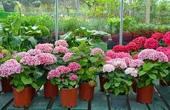 Hydrangeas in garden shop Stock Photo