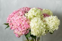 Hydrangeas in a glass vase. Hydrangeas produce larger mop heads made up of clusters of small flowers from Summer through. Autumn stock photography