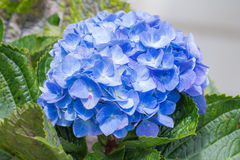 Hydrangeas stock photography