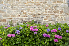 Hydrangeas. Hydrangea bushes grow next to an old stone house Royalty Free Stock Photo