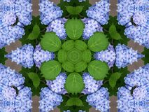 Hydrangeas kaleidoscope. Blue hydrangeas kaleidoscope .Background for your spring or summer projects stock photo