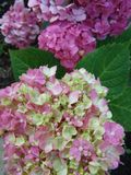 Hydrangeas with leaves Stock Images