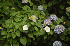 Hydrangeas and morning glories Stock Images