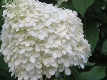 Hydrangeas ready for some close ups. These large white cone shaped hydrangea flowers are just beginning to show some pink color, but these close up photos stock photography