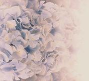 Hydrangeas in retro color style for background Royalty Free Stock Photography