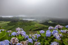 Hydrangeas on Sao Miguel. Beautiful hydrangeas on the rim of the Sete Cidades Crater in Sao Miguel royalty free stock photos
