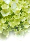 Hydrangeas vaghi Fotografia Stock Libera da Diritti