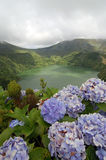Hydrangeas on the volcano. In azores, Fayal, portugal Stock Images