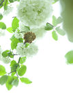 Hydrangeas,white flower with green leaf Stock Photography
