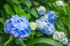 Blue and Yellow Hortensia Flowers in Sydney. Hydrangeas are wonderful, hardy shrubs with large flower heads coming in different species and color varieties. Here Royalty Free Stock Photography