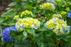 Purple and Yellow Hydrangea Flowers. Hydrangeas are wonderful, hardy shrubs with large flower heads coming in different species and color varieties. Here purple Stock Image