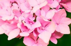 Hydrangera cor-de-rosa bonito Imagens de Stock Royalty Free