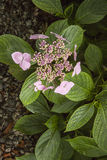 Hydranges rosa del lacecap ai giardini di Trebah Immagini Stock Libere da Diritti