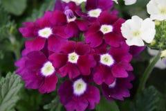 Hydrangia. Purple hydrangea with white flower with foliage Stock Photo