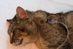 Hydratie van een kat door onderhuidse vloeistoffen te geven stock foto