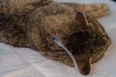 Hydratie van een kat door onderhuidse vloeistoffen te geven stock fotografie