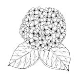 Hydrengea Flower doodle drawing freehand , Coloring page with doodle Royalty Free Stock Photo