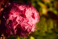 Hydrengea różowy kwiat obraz royalty free