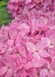 Hydrengea rosado Fotos de archivo libres de regalías