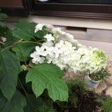 Hydrengeas-Blume lizenzfreies stockfoto