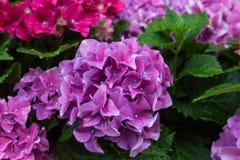 Hydrengeas flowers Stock Photography