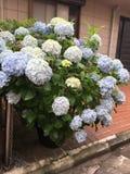 Hydrengeas kwiat zdjęcie stock