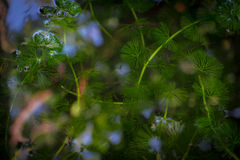 Hydrilla-abtract Hintergrund (Weichzeichnung) Lizenzfreies Stockbild