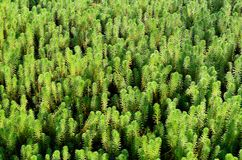 Hydrilla (Hydrilla verticillata) Royalty Free Stock Photo