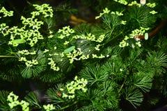 Hydrilla ist eine Klasse der Wasserpflanze stockfoto