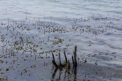 Hydrilla que cresce na água do lago fotos de stock royalty free