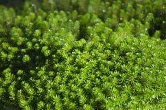 Hydrilla verticillata Obraz Stock