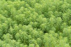 Hydrilla, verticillata L de Hydrilla f Fond d'abrégé sur nature de vert de Royle Images libres de droits