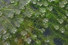 Hydrilla verticillata verde fresco che cresce nell'acqua, alga di Hydrilla, hydrilla verticillata, alga Hydrilla del Hydrocharita fotografie stock