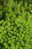 Hydrillaverticillata Royalty-vrije Stock Afbeelding