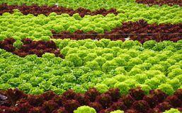 Hydro-phonic Lettuces Stock Photo