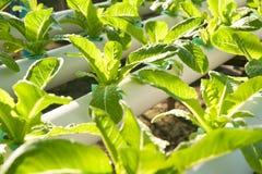 Hydro-phonic Plantation, Organic vegetables. Stock Images